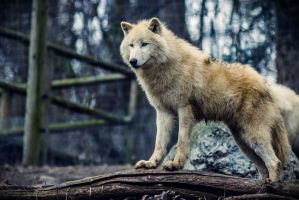 Arctic Wolf by neo1984com