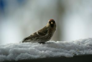 Female Common Redpoll by ChaseLee-LIA