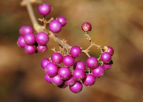 Beauty Berry by smfoley