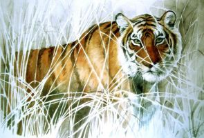 tiger between grass by daaaby