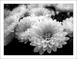 White flowers 3 by MichelleMarie