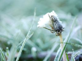 Morning ice on Dandelion weed flower. by asaluiphotography