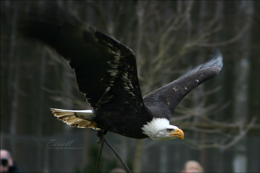Bald eagle by Eariell