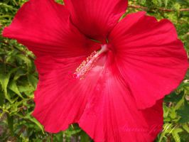 Red Hibiscus Flower by siannajmj