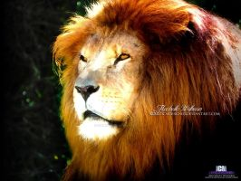 Lion by ICMDesigned