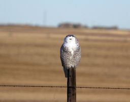 Snowy owl on a post by sgt-slaughter