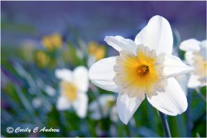 Daffodils by CecilyAndreuArtwork