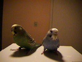 me budgies cool yo by kennysback