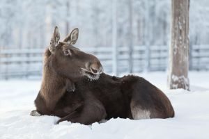 Moose by markotapio