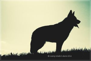 German Shepherd by carmenghirardi