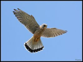 Kestrel Windhover by cycoze