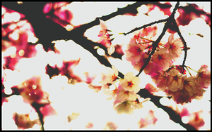 Cherry Blossoms by AlmostInfinity