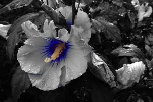 Hibiskus_Blue by bellapester