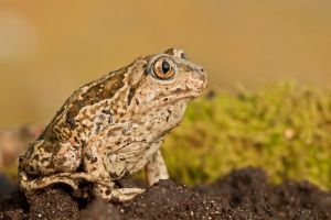 Common Spadefoot by ELKAPL