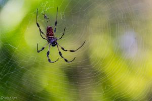 Pair of golden silk orbweavers by CyclicalCore