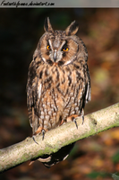Long Eared Owl by FantasticFennec