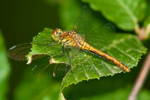 Dragon Fly - Southern Skimmer (Orthetrum brunneum) by addi1948