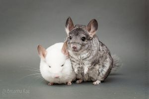 Ahhhh Chinchillas by breanna-rae