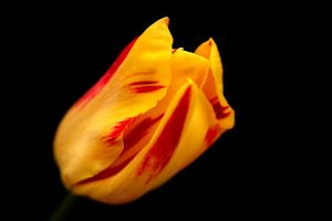 Tulip Blazing by andras120