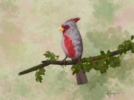 Pyrrhuloxia by Sillybilly60