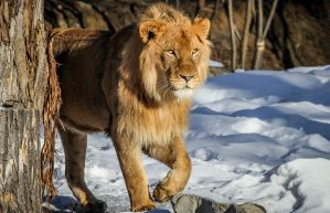 Lion by nigel3
