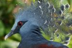 Victoria Crowned Pigeon by ScoobyUSA