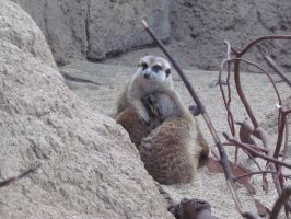 Meerkats in a Puddle by SubRosa-undertherose