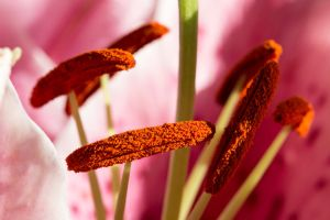 Lilly Pollen by ian-roberts