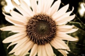 Sunflower by Pennyh02