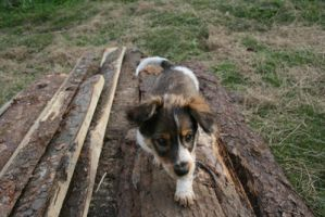 Brown white pup by black-cat16-stock