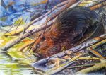 ACEO - Eager Beaver by Giselle-M