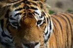 Tiger 20120905-1 by FurLined