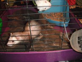 Ferrets :D by gailagj
