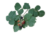 Bramble PNG.. by Alz-Stock-and-Art