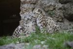 Snow leopard cubs by AF--Photography