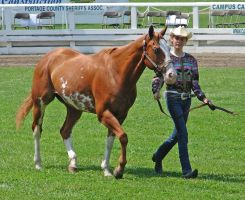 Halter Horse 11 by shi-stock