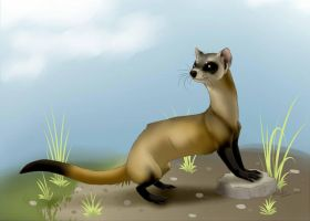 Black Footed Ferret by Krissyfawx