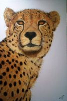 Old Cheetah by Sommeling