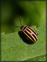 Leaf Beetle 40D0039665 by Cristian-M