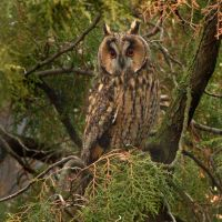 Hypnotise - Long eared Owl by Jamie-MacArthur