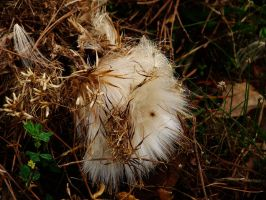 Thistle Down by Sharondipity