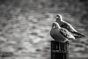 Seagull Stare Of Death by SevenPhotoDFW