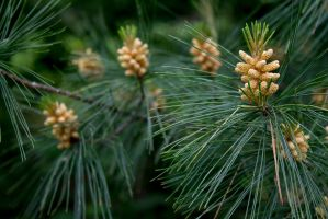 Mill and Stream In-Frame - Pine Flowers by wetdryvac