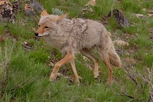 Yellowstone Coyote by MikeysPhotos