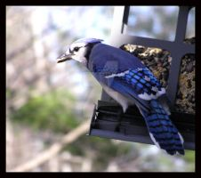 Blue Jay by KWilliamsPhoto