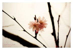 The blossoms are falling.. by straightfromcamera