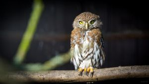 Pearl-spotted Owlet by Felvin