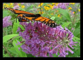Butterfly Bush by picworth1000wrds