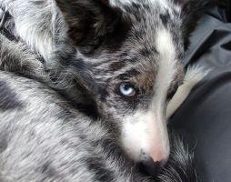 Loki 2 - Blue Merle Border Collie by jipjax