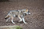 Wolf by Fotostyle-Schindler